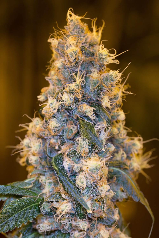 Humboldt Blue Fire Feminised Seeds