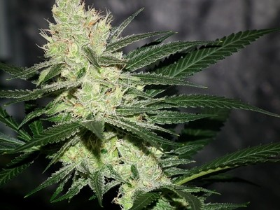 Pucker Punch Regular Seeds
