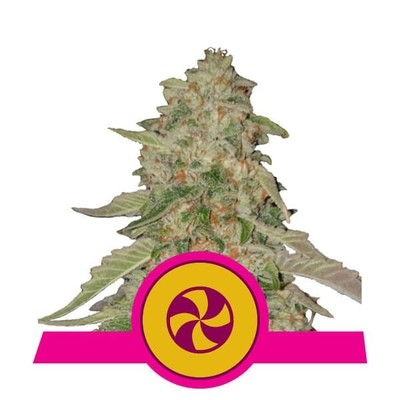 Sweet Zkittlez Feminised Seeds