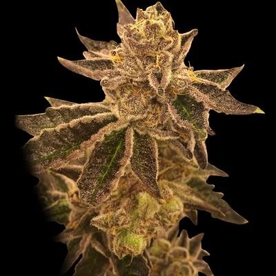 Cookie OX Regular Seeds