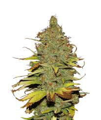 Dank Seeds - C99 x Blueberry Feminized