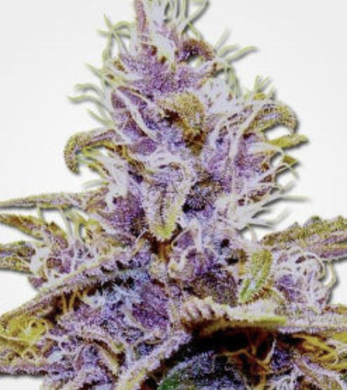 Dank Seeds - Grandaddy Purple Feminized