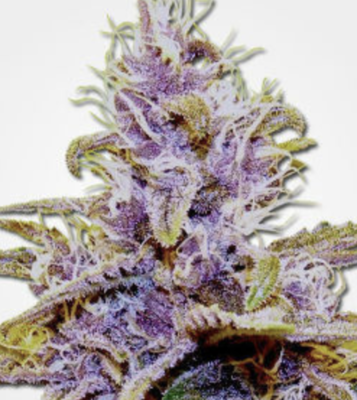 Dank Seeds - Grandaddy Purple Feminized