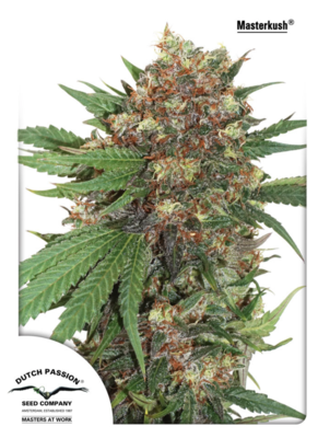 Master Kush Feminised Seeds