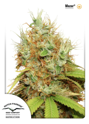 Mazar Feminised Seeds