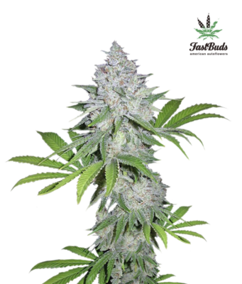 Californian Snow Auto Feminised Seeds