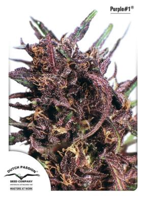 Purple #1 Feminised Seeds