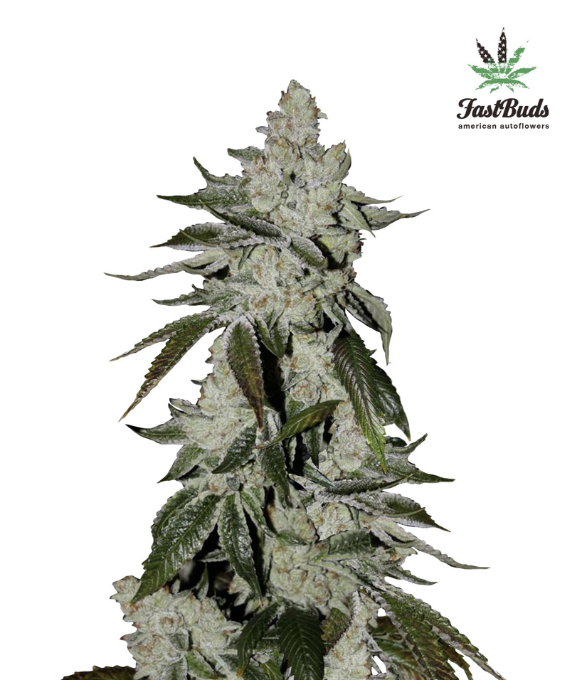 Girl Scout Cookies Auto Feminised Seeds