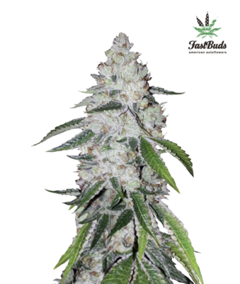 West Coast O.G. Auto Feminised Seeds