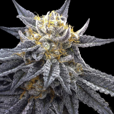 SSOG Feminised Seeds (Crockett Family Farms)