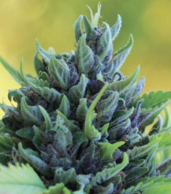 Humboldt Dream Regular Seeds