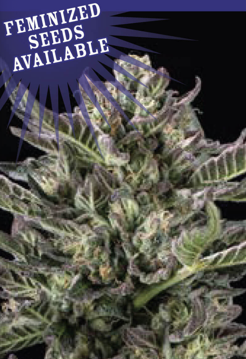 Notorious THC Feminised Seeds