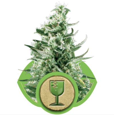 Royal Critical Auto Feminised Seeds