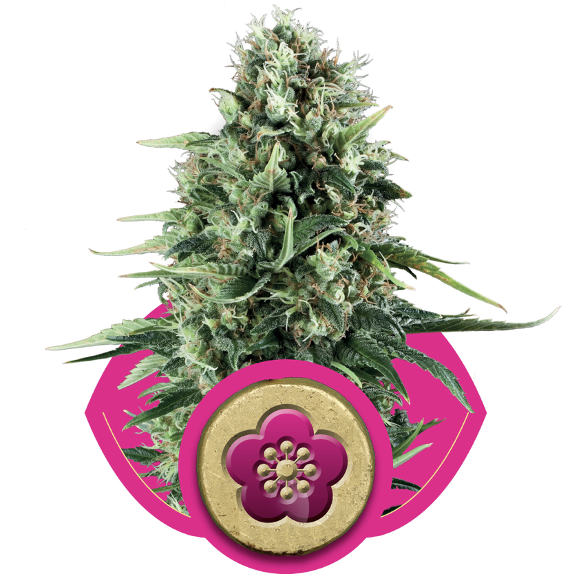 Power Flower Feminised Seeds