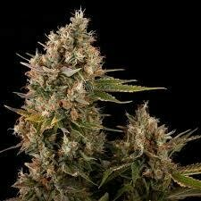 Dinachem Feminised Seeds