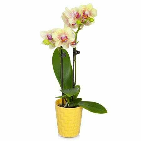 Orchid Yellow Phalaenopsis