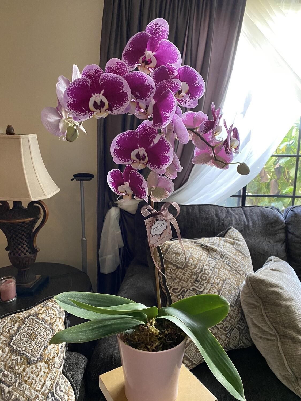 Orchids Harlequin Phalaenopsis