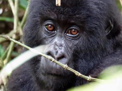 Baby Gorilla - Original Photo 5 x 7 Card