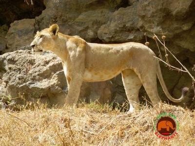 Hungry Hunter Lioness - Original Photo 5 x 7 Card