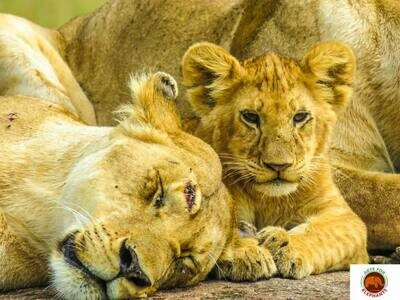 Stunning Baby and Mum Lion Photo Art Print (DR7)