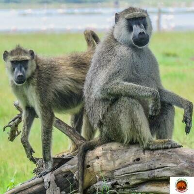 Darling Baboons Photo Art Print (DR1)