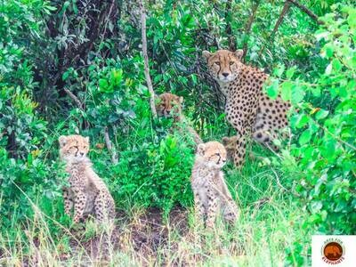 Cheetah Family Masai Mara Art Print