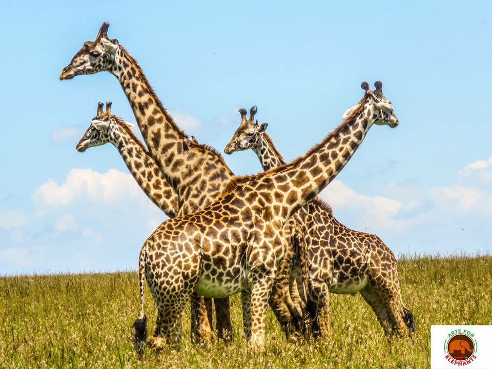 Giraffe Party Photo Art Print (DR19)