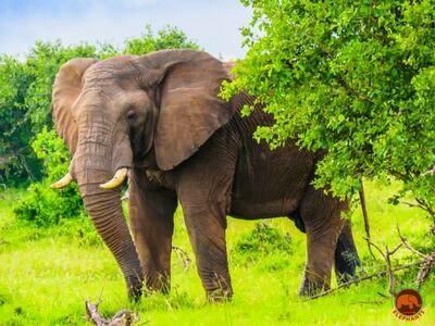 Peeking Elephant Photo Art Print (DR9)