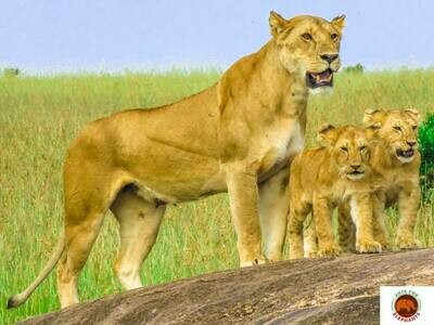Lion Family Photo Art Print (DR5)