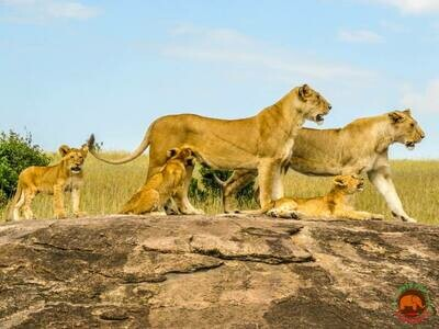 Lion Pride Masai Mara Photo Art Print (DR4)