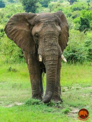 Face Forward Elephant Photo Art Print (DR9)