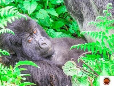 Relaxing Baby Gorilla  Fine Art Print