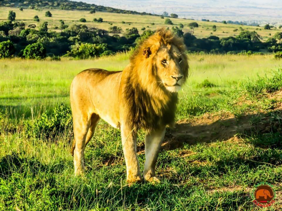 Lion King Masai Mara Art Print