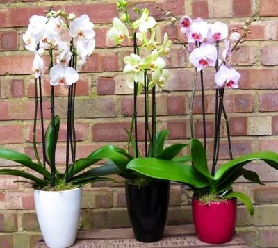 Phalaenopsis orchid plants