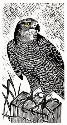 Hawk on Lookout