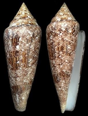 Conus gloriamaris - 100+ mm