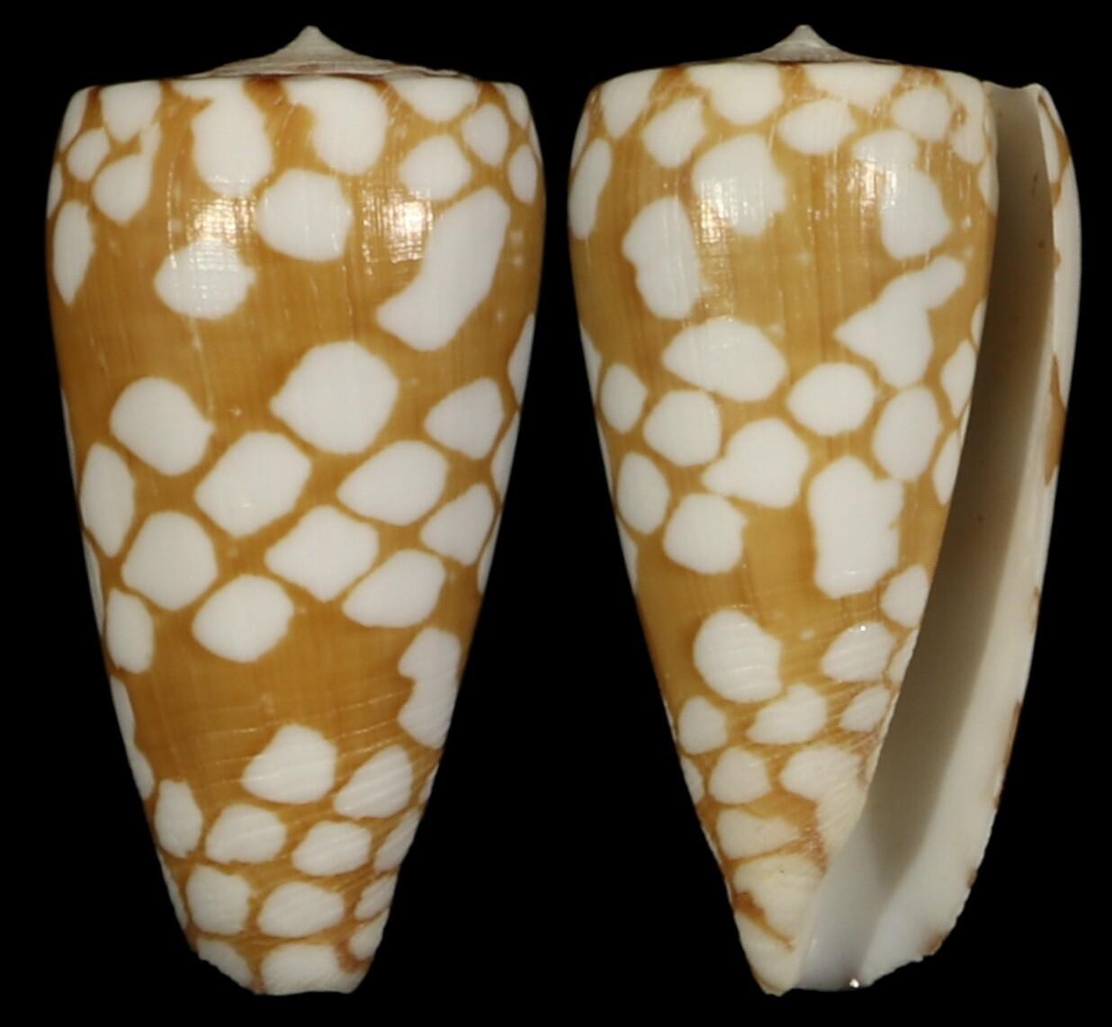 Conus cordigera