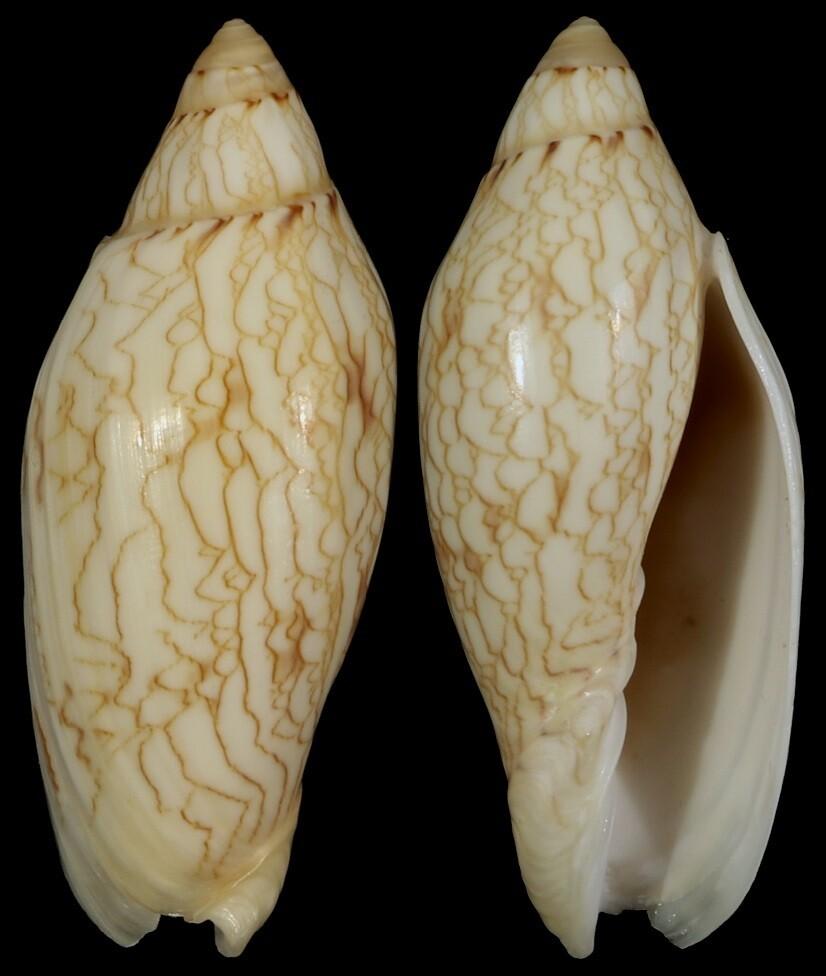 Amoria newmanae