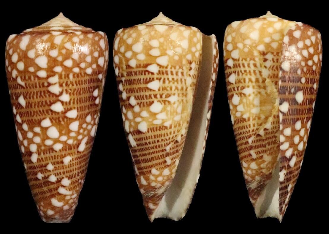 Conus victor