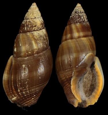 Nassarius fuscus