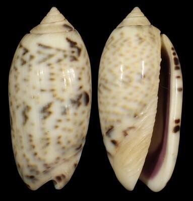 Oliva caerula