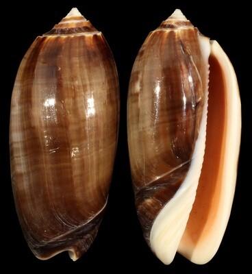 Oliva miniacea f. marrati