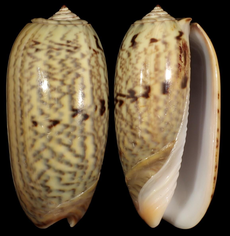 Oliva westralis elodieae