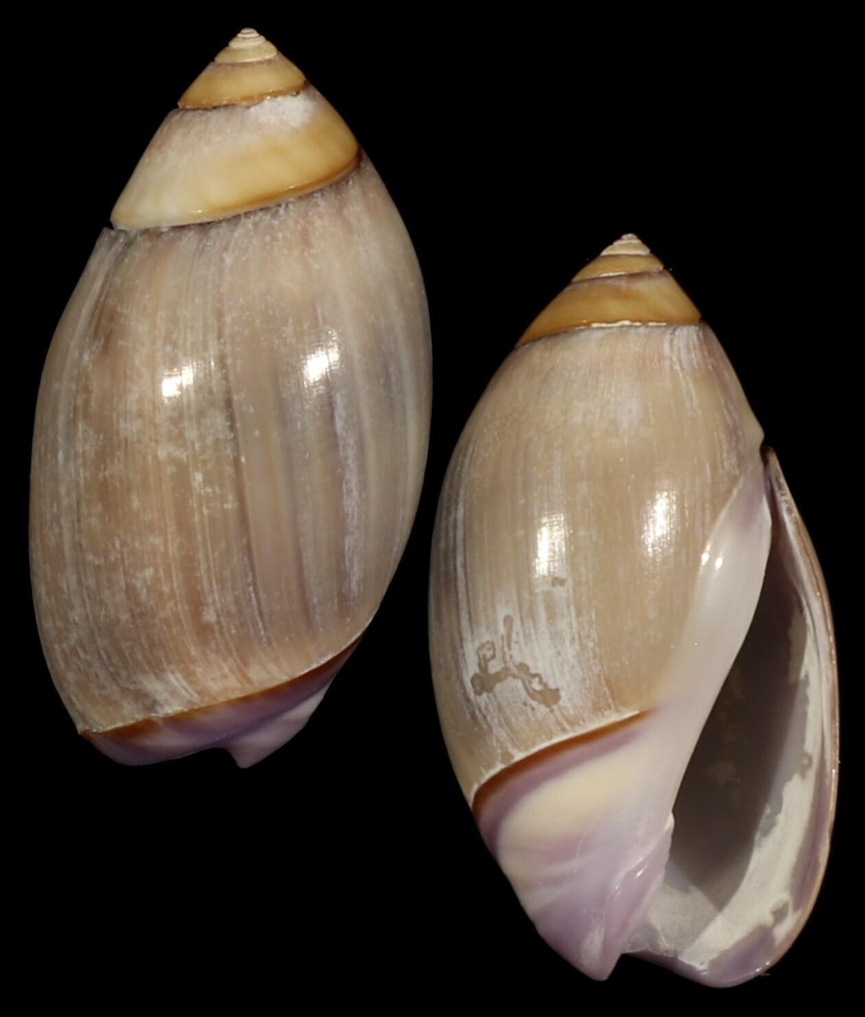 Olivella biplicata