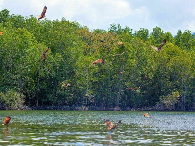 1D Mangrove Tour + Eagle Watching With Lunch