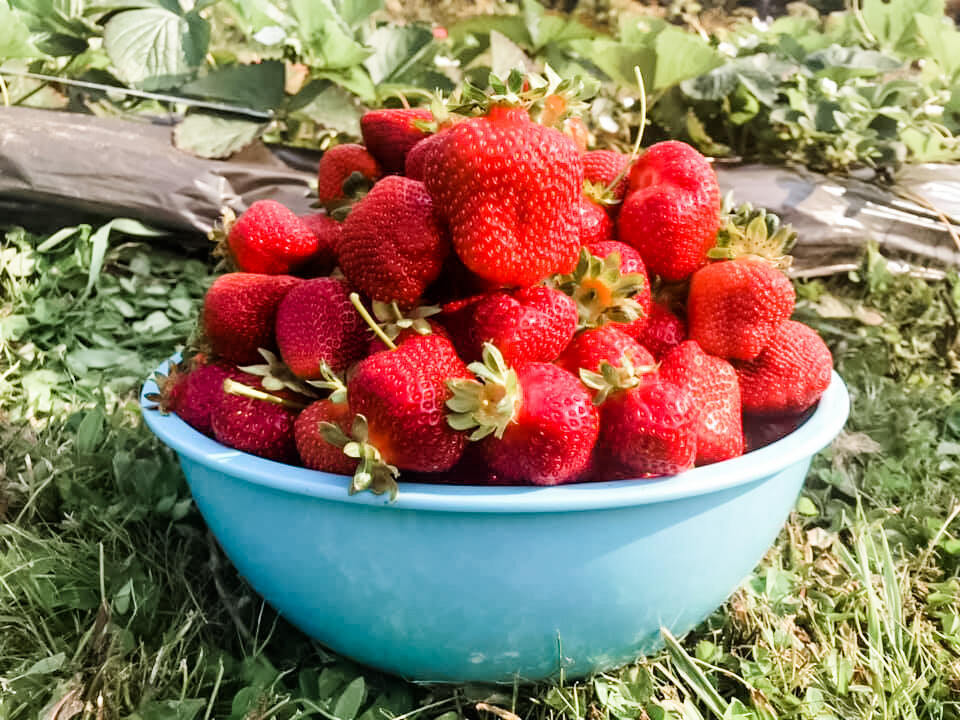 25 Seascape Bare-Root Strawberry Plants Including FREE strawberry planting guide and strawberry mini-cookbook