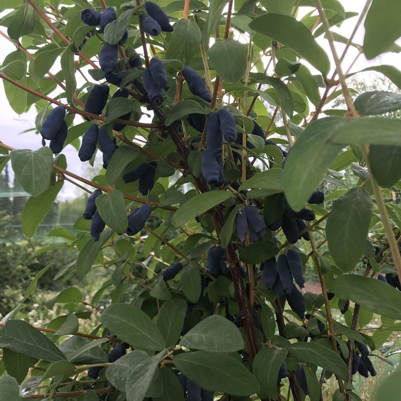 FALL PRESALE: Honeyberry (Haskap) Bushes