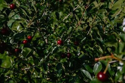 Alaska Hardy Cherry Bushes