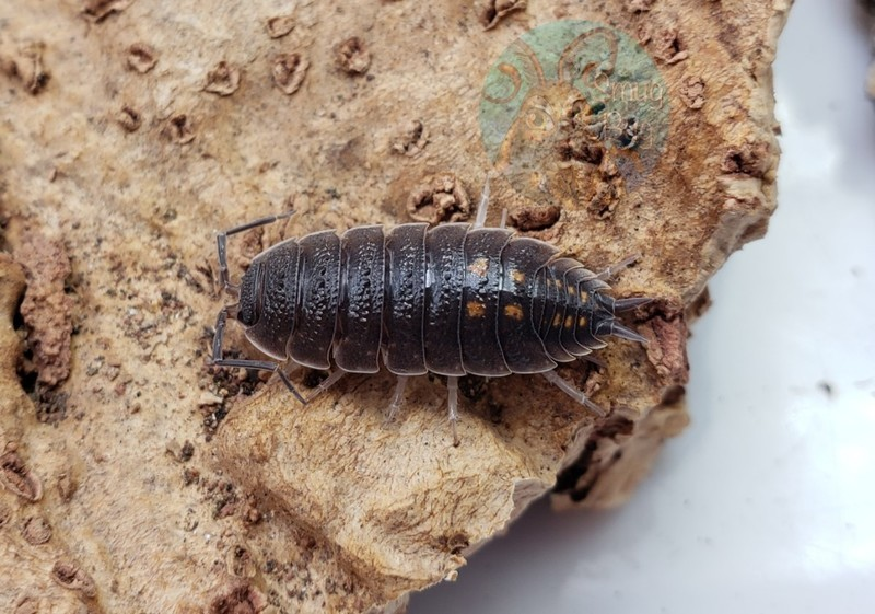 Porcellio ornatus