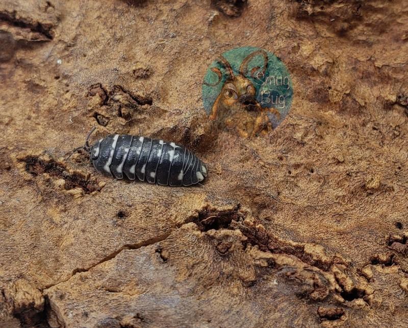Armadillidium corcyraeum